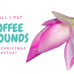 Are Coffee Grounds Good for Christmas Cactus?