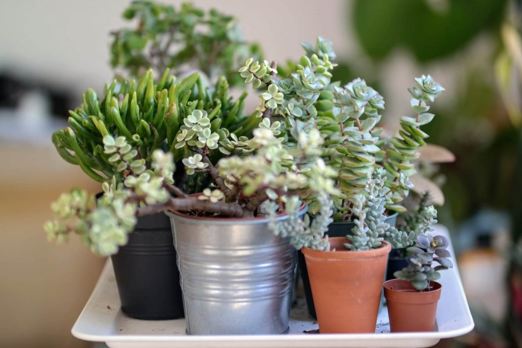 succulent care tips for beginners