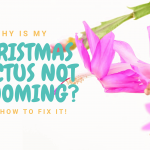 Why is my Christmas cactus not blooming?
