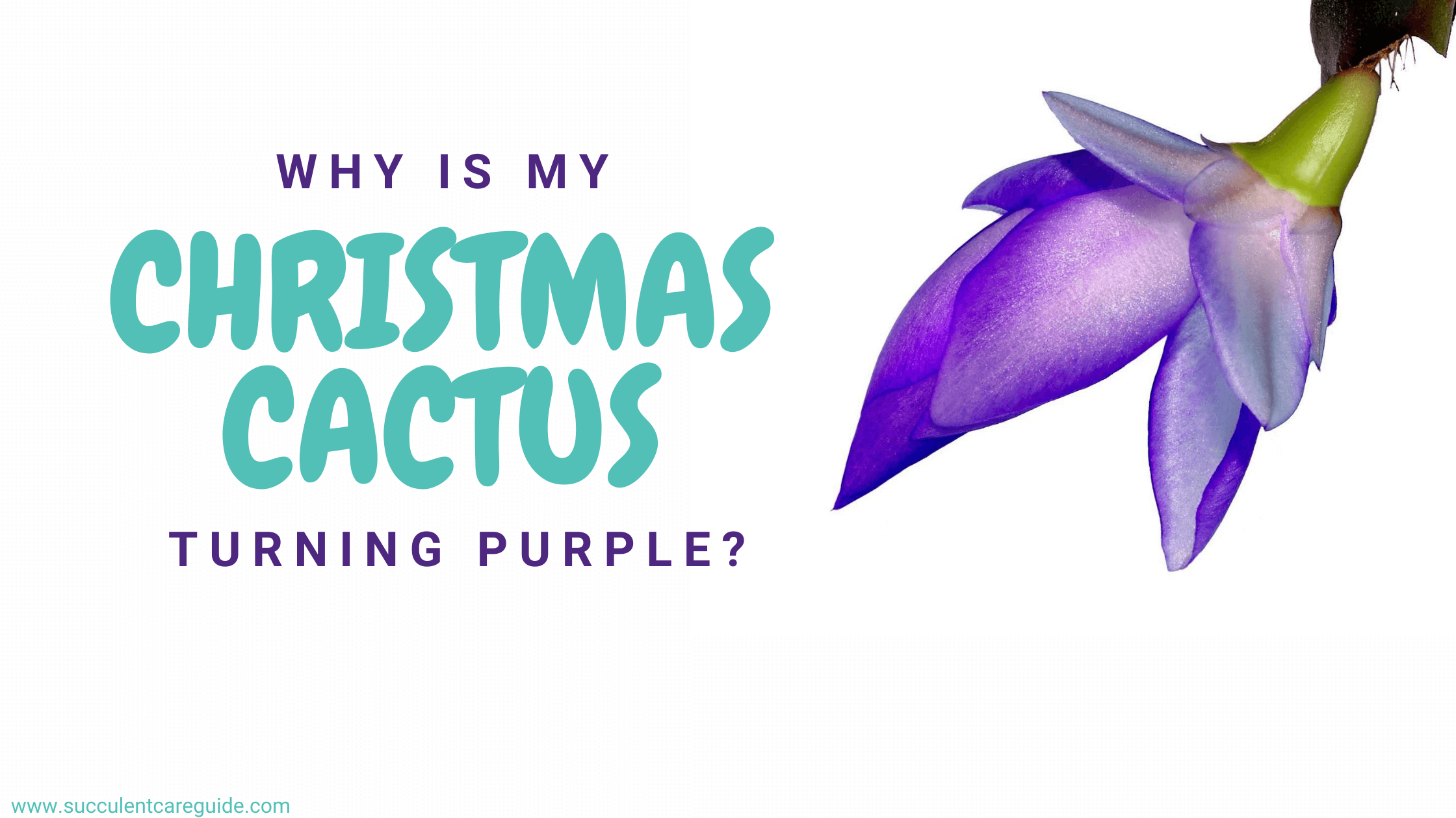 why is my christmas cactus turning purple (1)