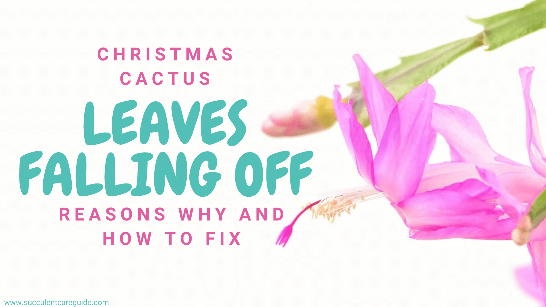 christmas cactus leaves falling off