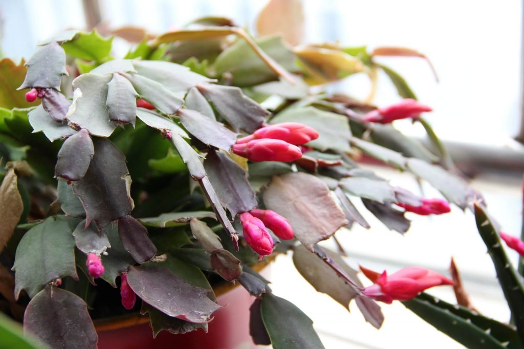 why are the leaves falling off my christmas cactus