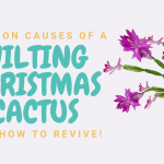 Common Causes of a Wilting Christmas cactus