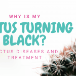 Why is my cactus turning black? Cactus diseases and treatment
