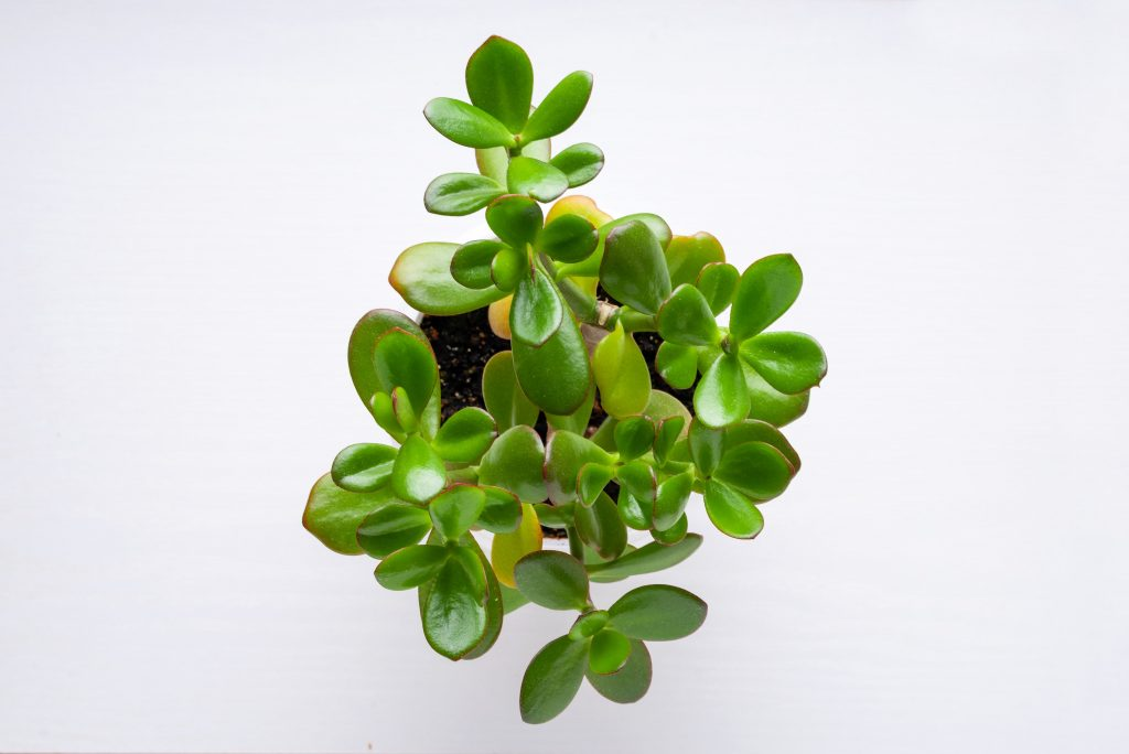 why is my jade plant dropping leaves