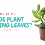 Jade Plant Dropping Leaves? Here Are 7 Common Reasons