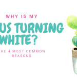Cactus Turning White? Here are 4 Common Reasons Why...