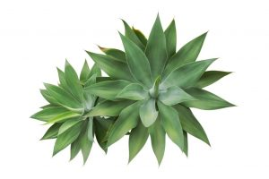 dwarf agave for office