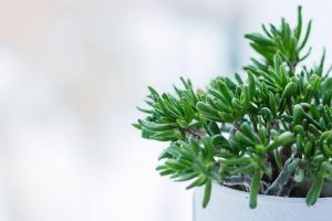 how to know if jade plant is dying