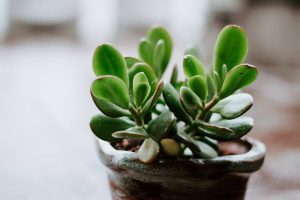 jade plant dying
