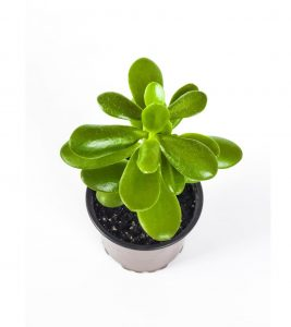 succulent for offices jade plant