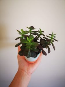 how to make a jade plant grow faster