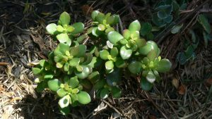 how to save an overwatered jade plant