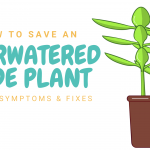Overwatered Jade Plant: Signs, Symptoms & Fixes!