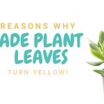 Jade Plant Yellow Leaves? 8 Reasons Why Your Jade Plant is Turning Yellow